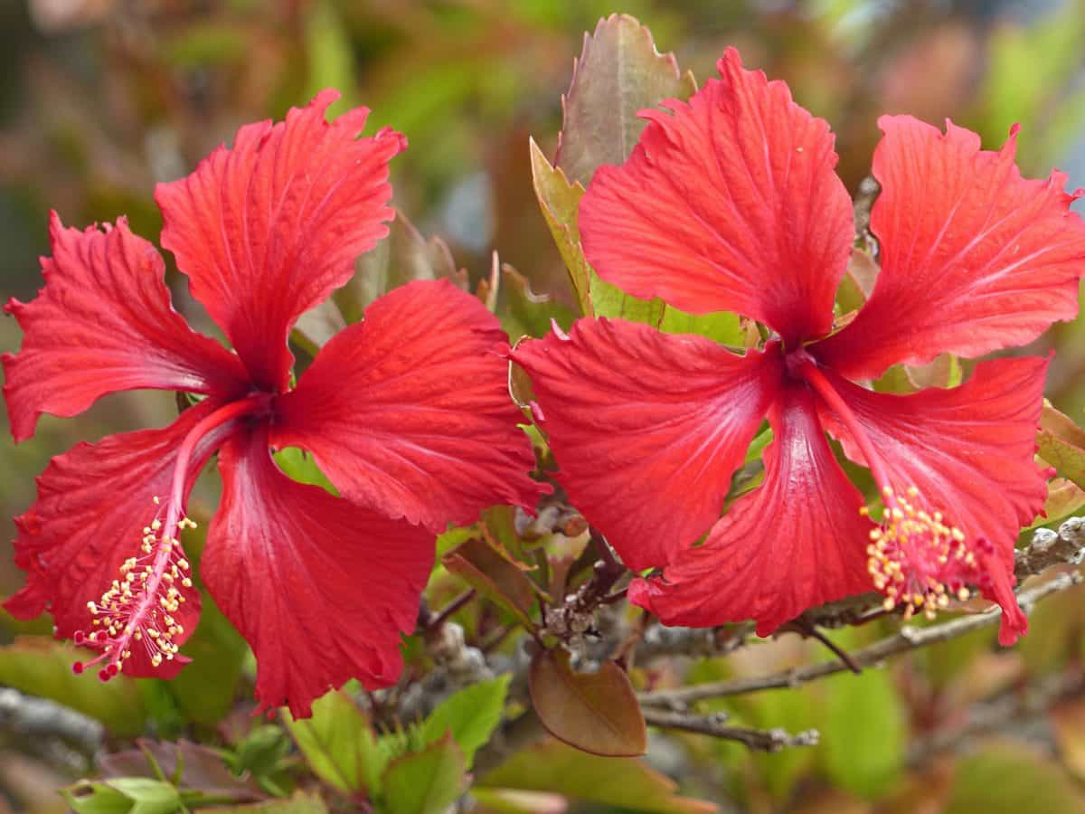 hibiscus, flora, beautiful, nature, red flower, summer, leaf, garden