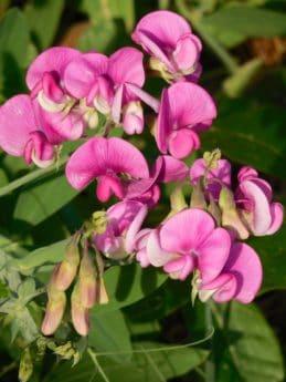 kert, virág, természet, szirom, flora, levél, nyári, gyógynövény