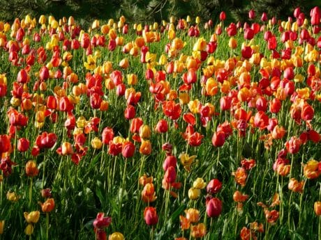tulip, flora, flower, petal, garden, field, daylight, summer, nature
