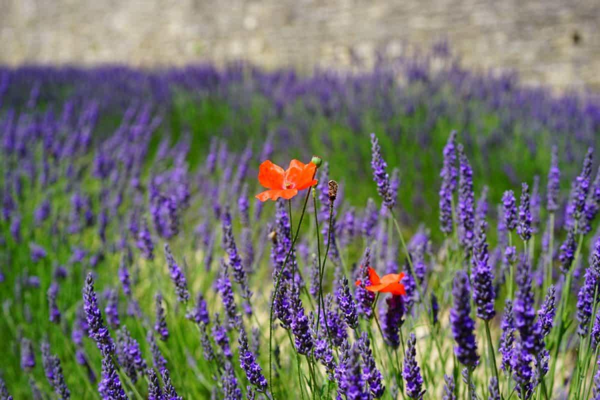 nature, field, flower, flora, lavender, plant, wildflower, opium poppy, garden