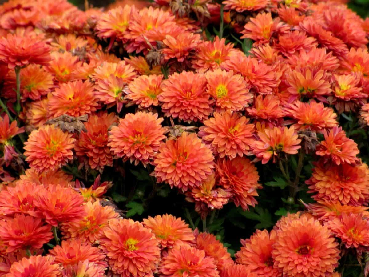 chrysanthemum, horticulture, nature, petal, summer, garden, flower