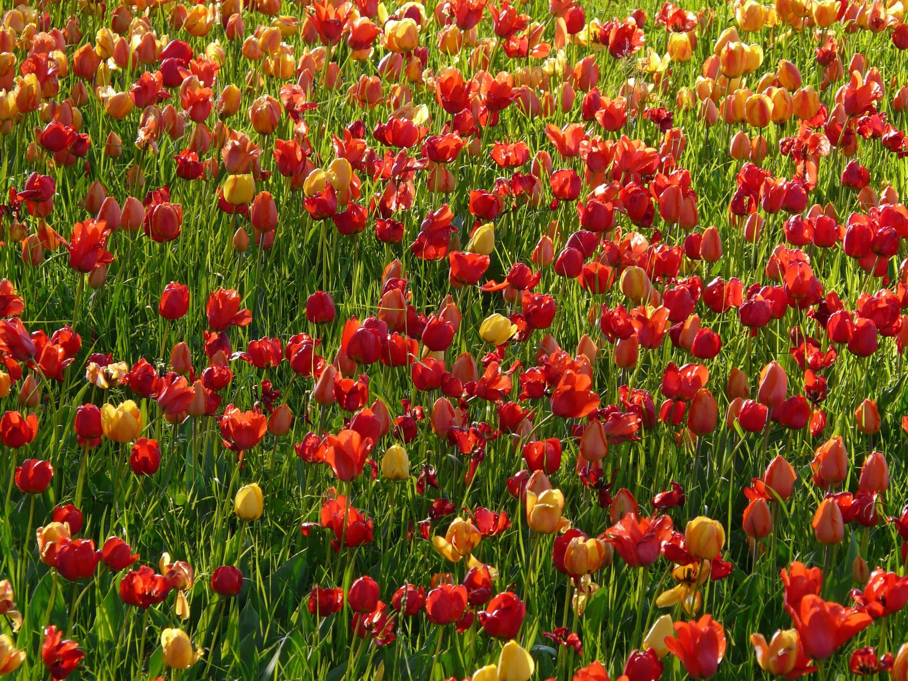 Kostenlose Bild Natur Feld Gartenbau Blume Sommer Pflanzen