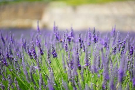 summer, horticulture, flower, flora, nature, field, lavender, plant, herb