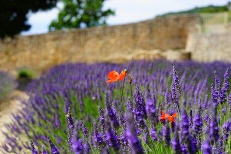 field, flower, flora, summer, nature, lavender, plant, herb, horticulture, daylight