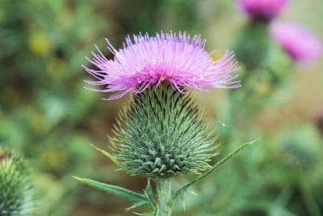 thistle, nature, horticulture, flower, leaf, flora, summer, vegetable, plant, herb