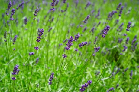 nature, summer, flower, flora, field, lavender, plant, garden