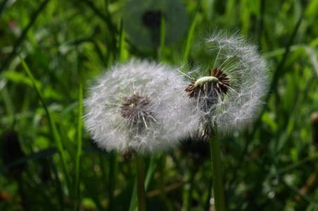 wildflower, summer, nature, seed, dandelion, garden, grass, flora, daylight