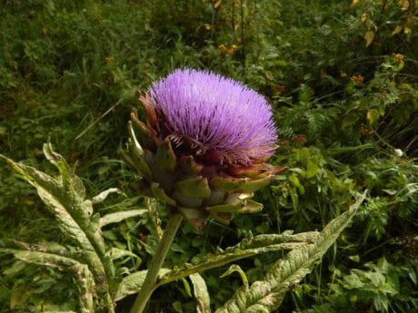summer, thistle, flower, flora, nature, leaf, outdoor