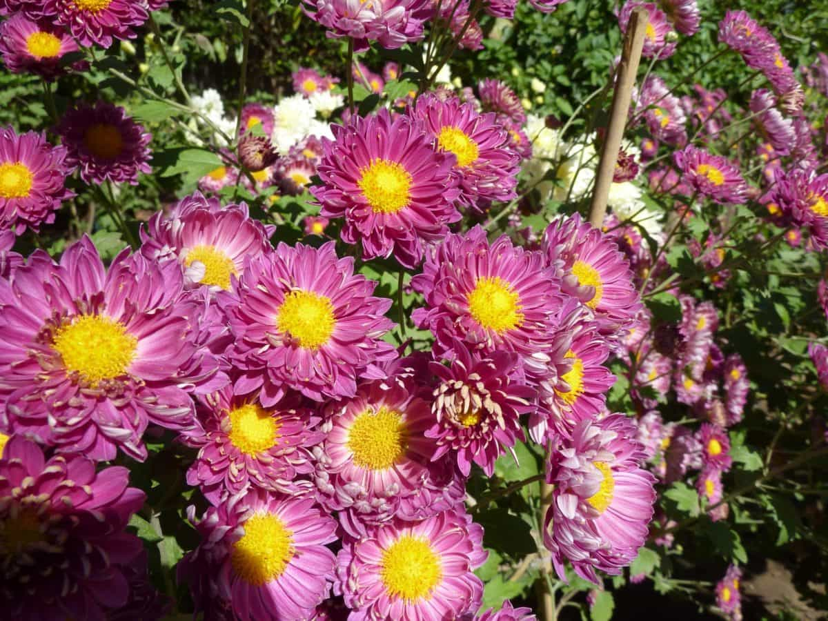Flora, fiore, giardino, foglia, estate, crisantemo, petalo, natura, erba