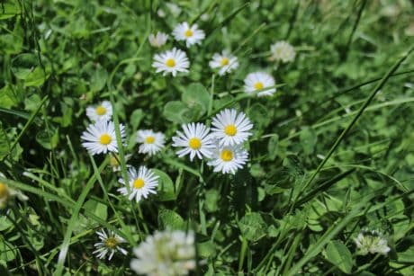 nature, grass, flower, daisy, summer, flora, garden, field, herb