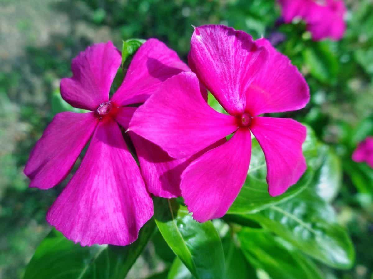 Sommer, Blatt, Garten, Natur, rot, Wildblumen, Flora, Blütenblatt, Kraut