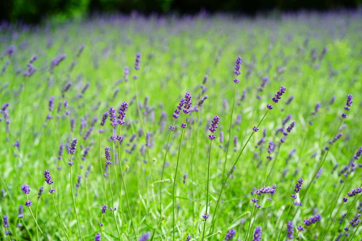 flora, lavender, daylight, field, agriculture, nature, summer, countryside, flower