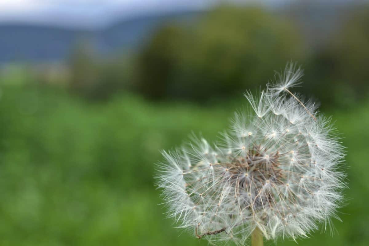 flower, nature, grass, dandelion, wind, flora, summer, seed, herb