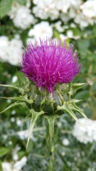 Thistle, blad, flora, blomster, gress, natur, sommer, hage, urt