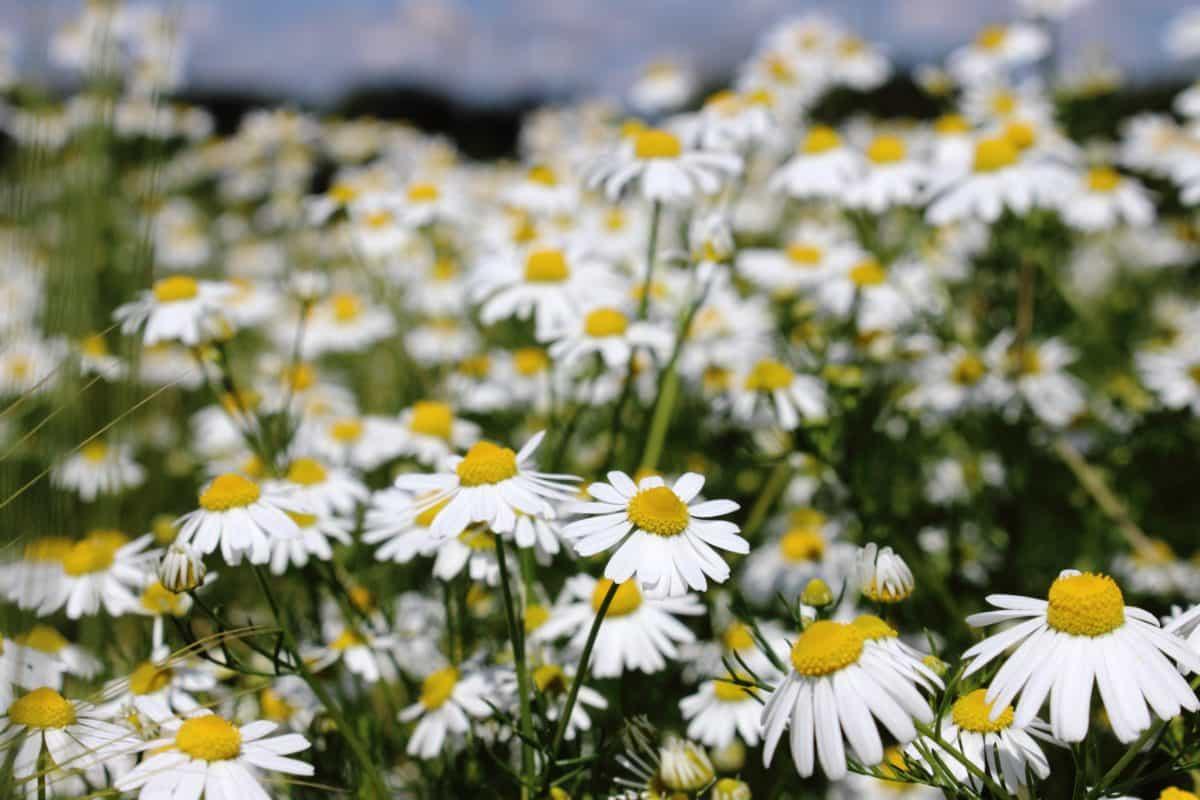 chamomile, nature, grass, summer, flora, flower, field, garden, daylight