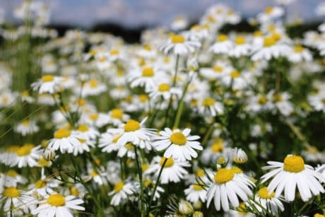 chamomile, nature, grass, summer, flora, flower, field, garden, daylight