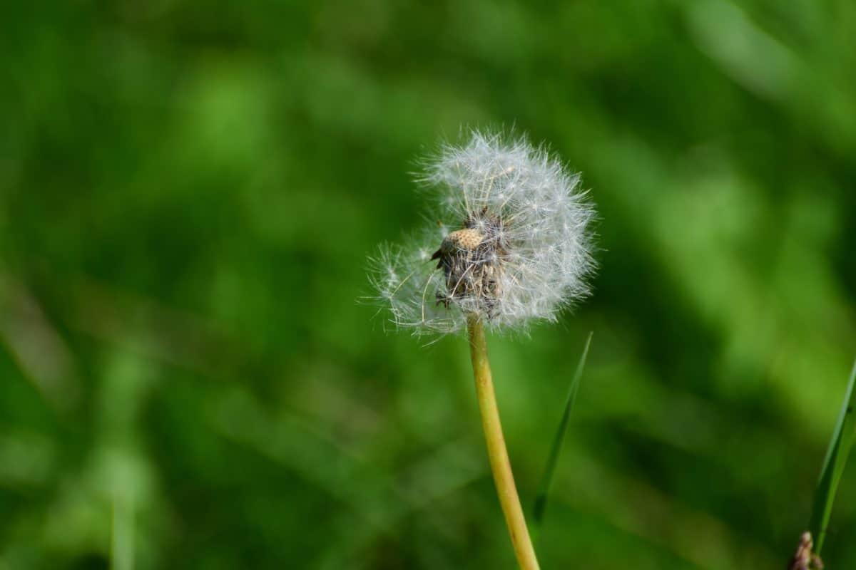 grass, nature, herb, dandelion, plant, wind, flower, flora