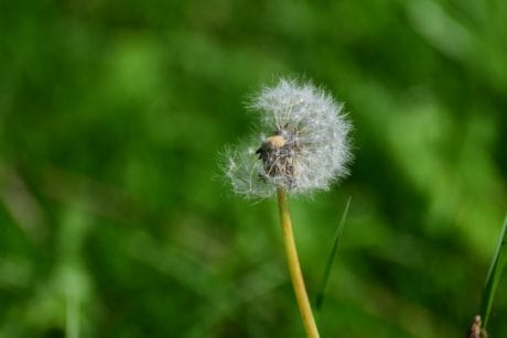 grass, nature, herb, dandelion, plant, wind, flower, flora
