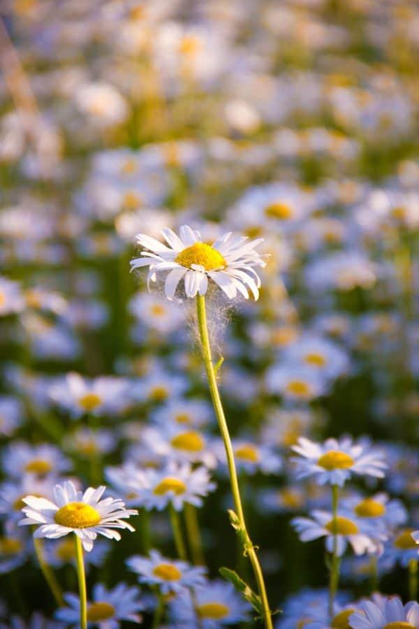 leaf, chamomile, field, garden, flora, nature, flower, summer