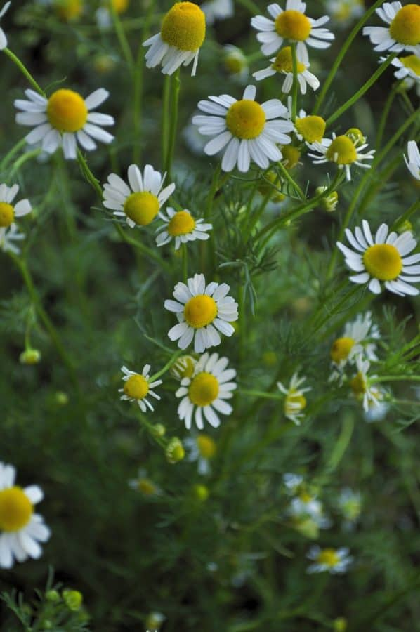 leaf, nature, field, grass, flora, chamomile, flower, summer