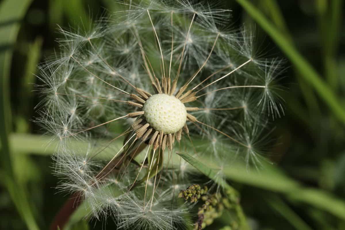 macro, daylight, seed, wind, flora, grass, nature, summer, dandelion