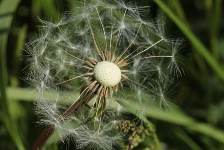 macro, daylight, seed, wind, flora, grass, nature, summer, dandelion
