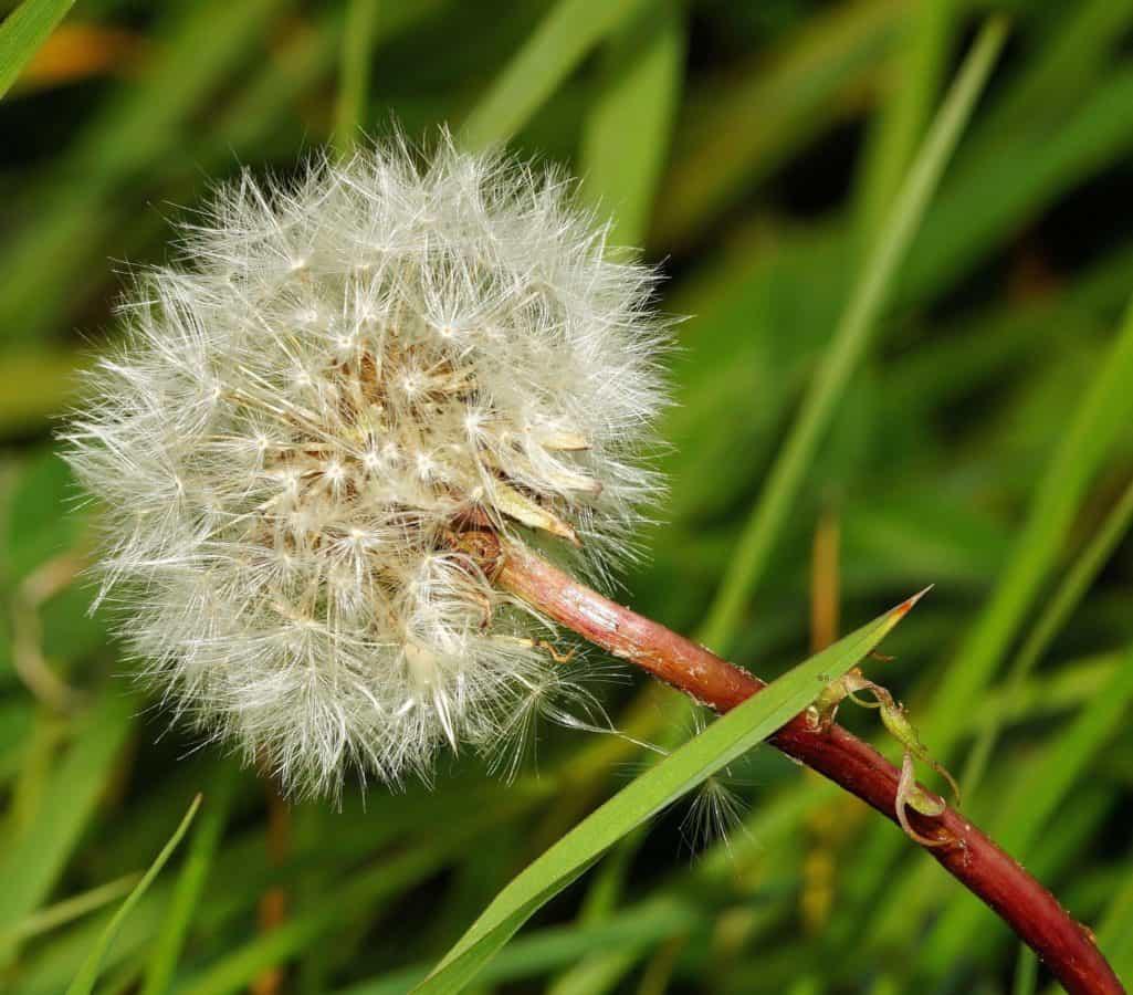 wild, seed, flora, grass, summer, dandelion, flower, nature