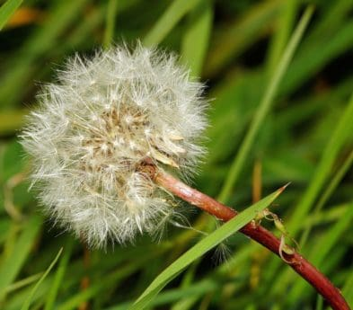 wild, seed, flora, grass, summer, dandelion, flower, nature
