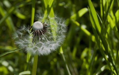 garden, dandelion, nature, macro, grass, summer, flora, herb, plant
