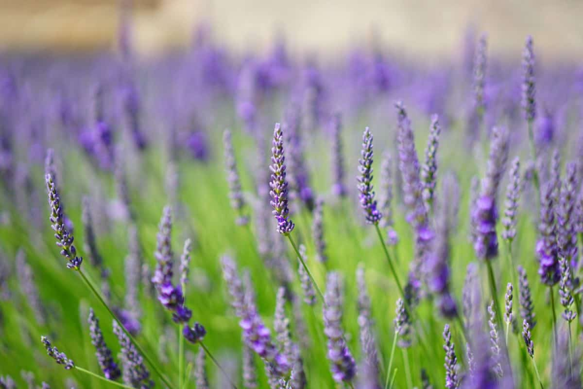 summer, horticulture, countryside, flora, field, nature, flower, lavender