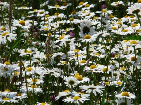 summer, nature, petal, field, flower, chamomile, garden, flora