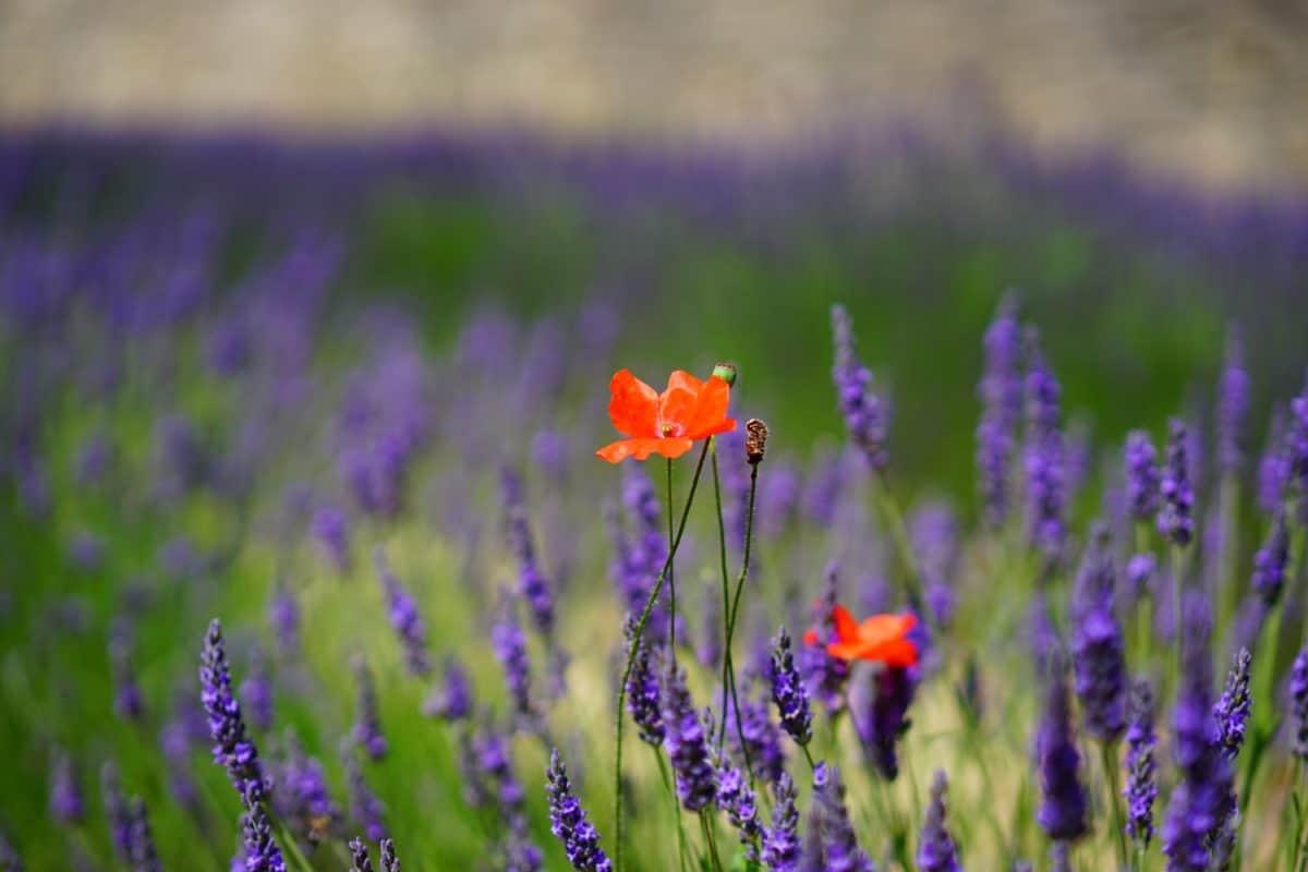 virág, kertészeti, táj, természet, flora, mező, levendula, növény