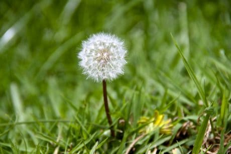 summer, flora, leaf, nature, grass, field, herb, dandelion