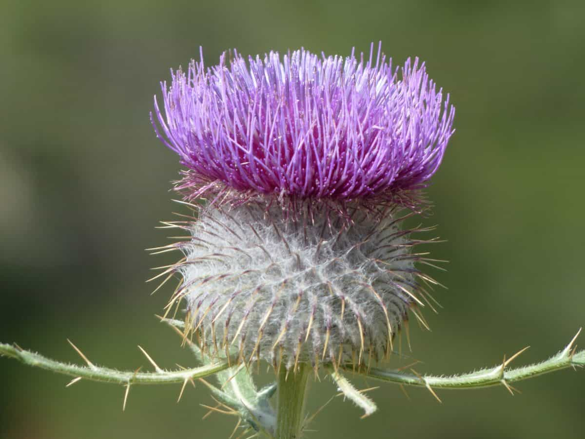 thistle, flora, nature, flower, horticulture, herb, plant, bloom