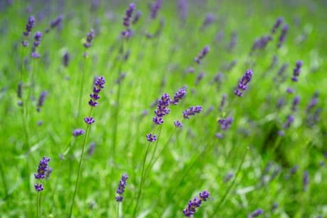 nature, flower, flora, field, summer, lavender, plant, garden, grass