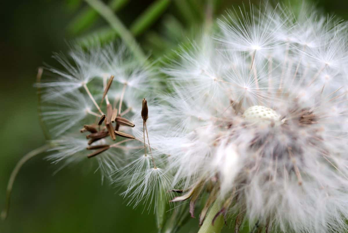 summer, flora, flower, grass, nature, dandelion, seed, macro