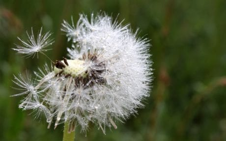 moisture, summer, flora, dew, rain, flower, dandelion, nature, macro, herb