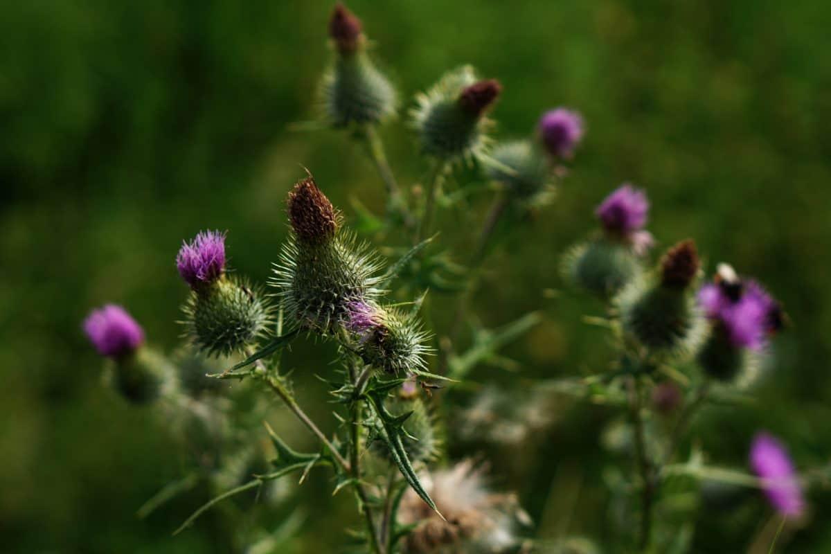 skarp, vill, sommer, blomst, flora, natur, thistle, hage