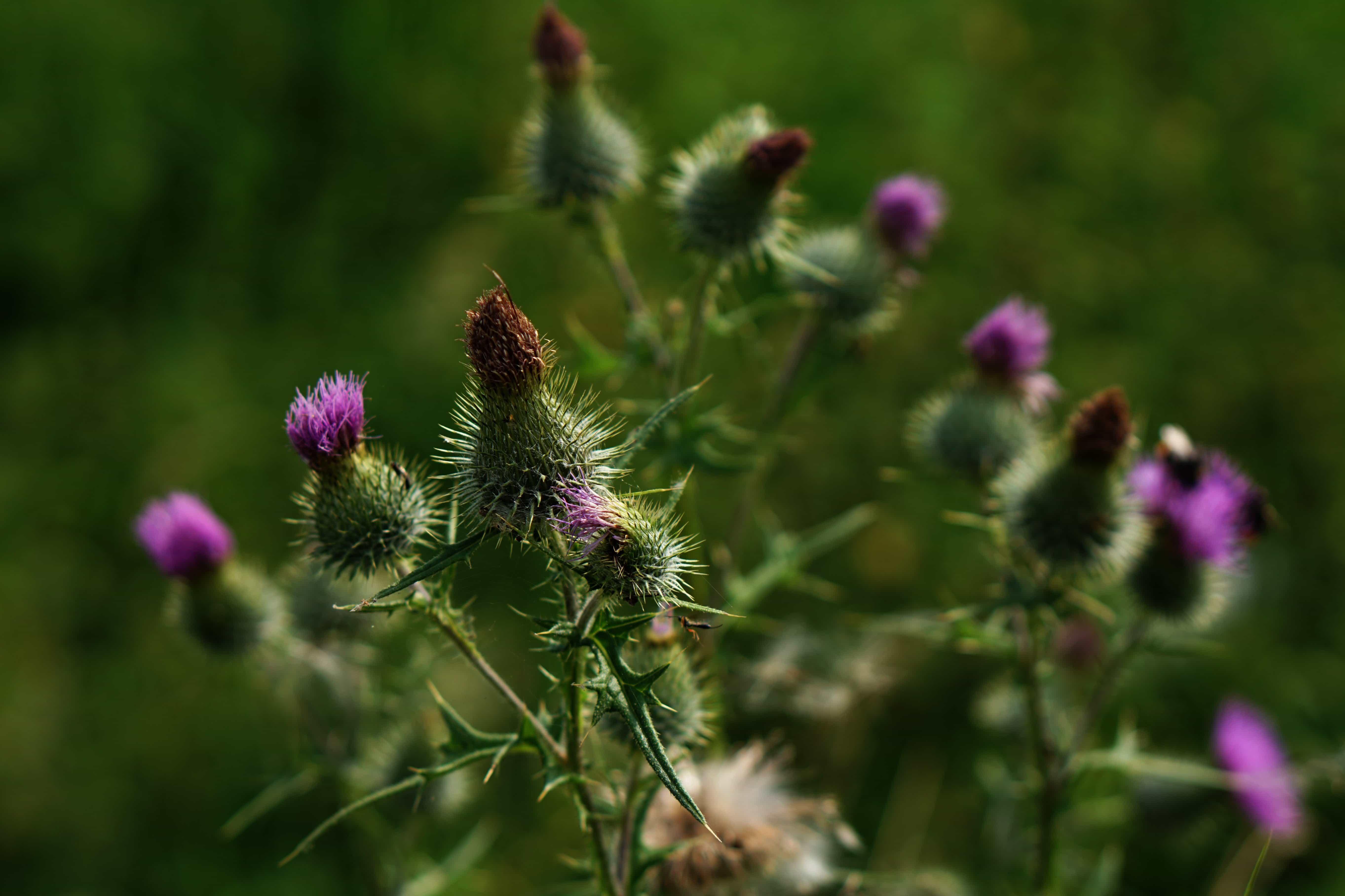 free picture  sharp  wild  summer  flower  flora  nature