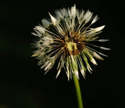 dandelion, flora, nature, flower, herb, plant, macro, photo studio