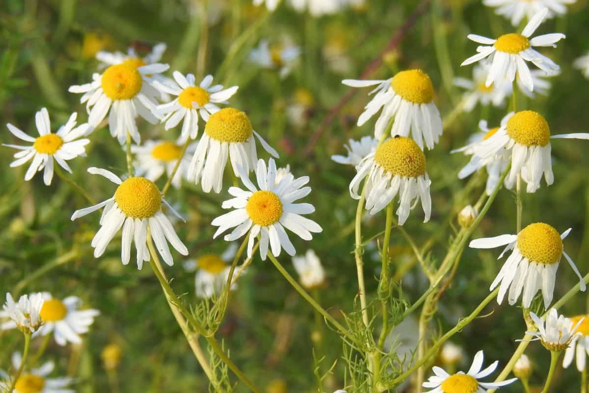 wild, flora, summer, field, chamomile, leaf, flower, nature