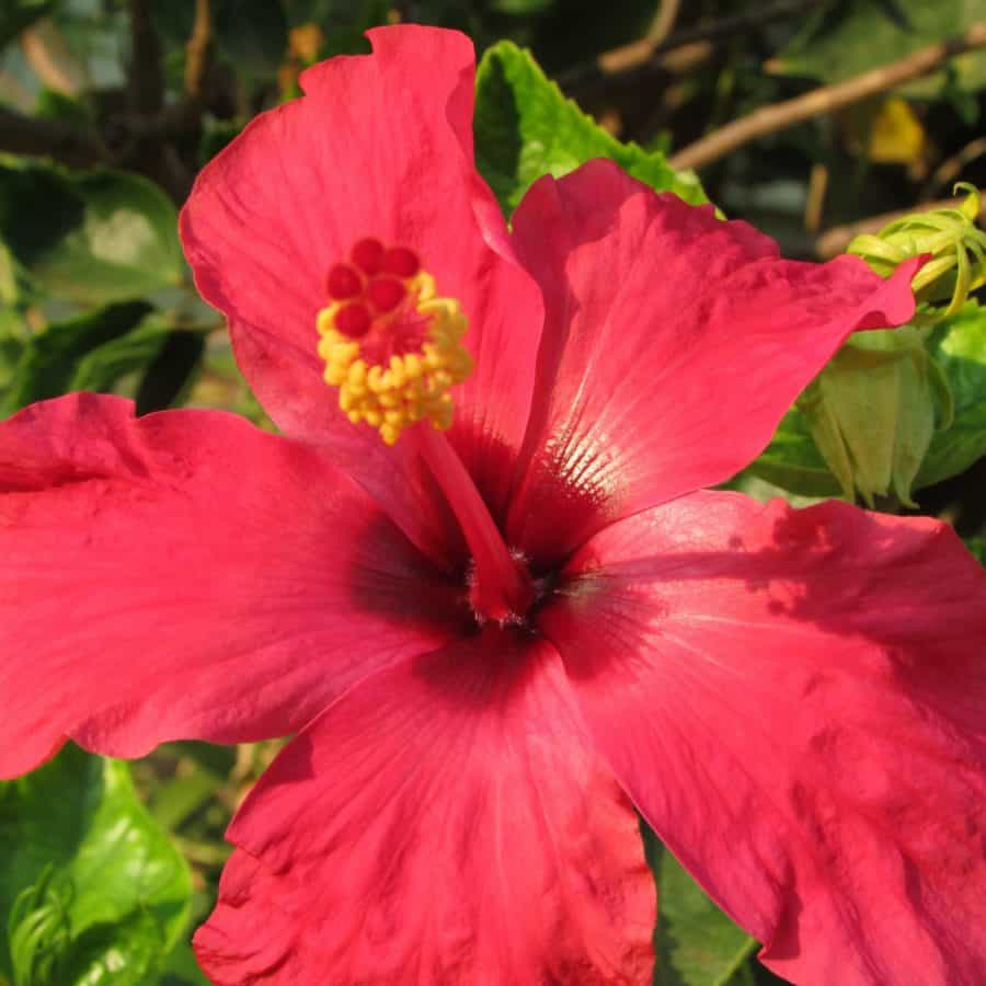 macro, detail, red, garden, petal, summer, nature, hibiscus, flower, leaf, flora