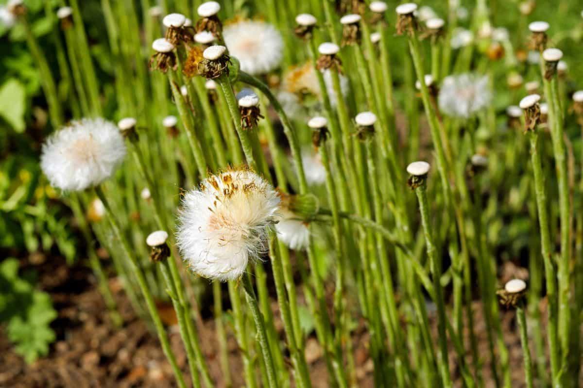 dandelion, wildflower, summer, flora, grass, field, nature, flower, plant, garden