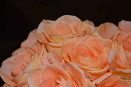 bouquet, petal, flower, rose, petal, macro, photo studio, indoor