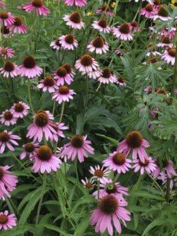 estate, natura, giardino, petalo, flora, Echinacea, fiore