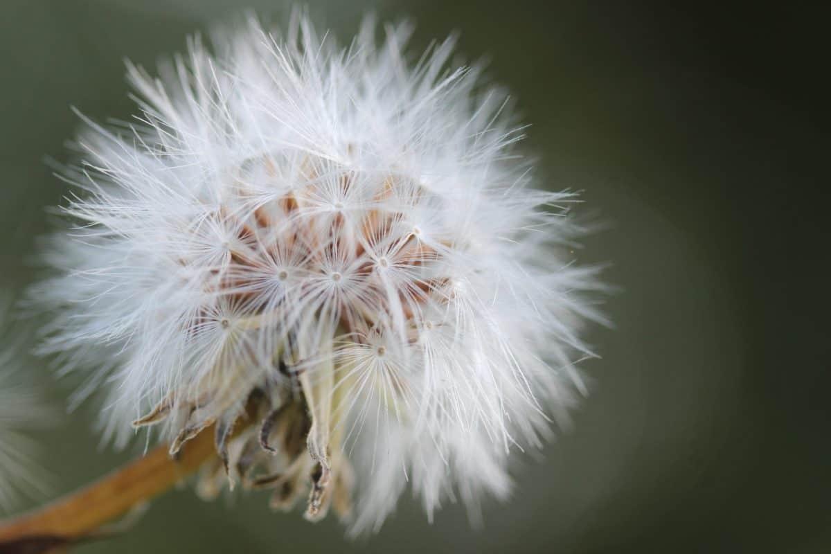 flower, summer, flora, nature, dandelion, seed, herb, plant