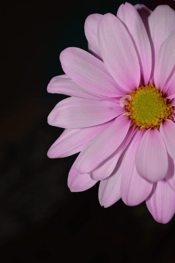 flora, macro, pollen, wildflower, nature, petal, daisy, pink, blossom, plant