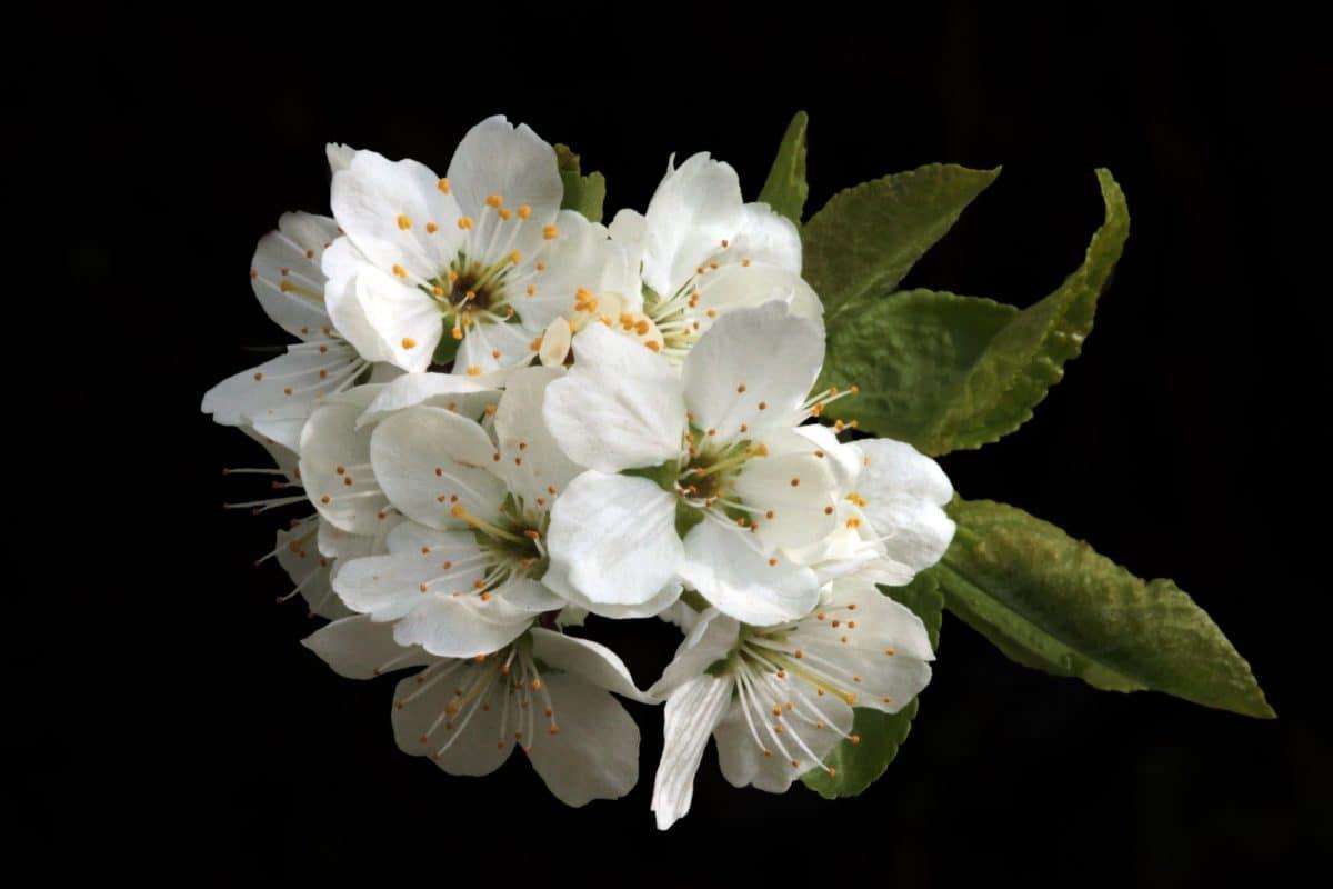 Macto, natura, flora, ciliegio, foglia, petalo, fiore, pianta
