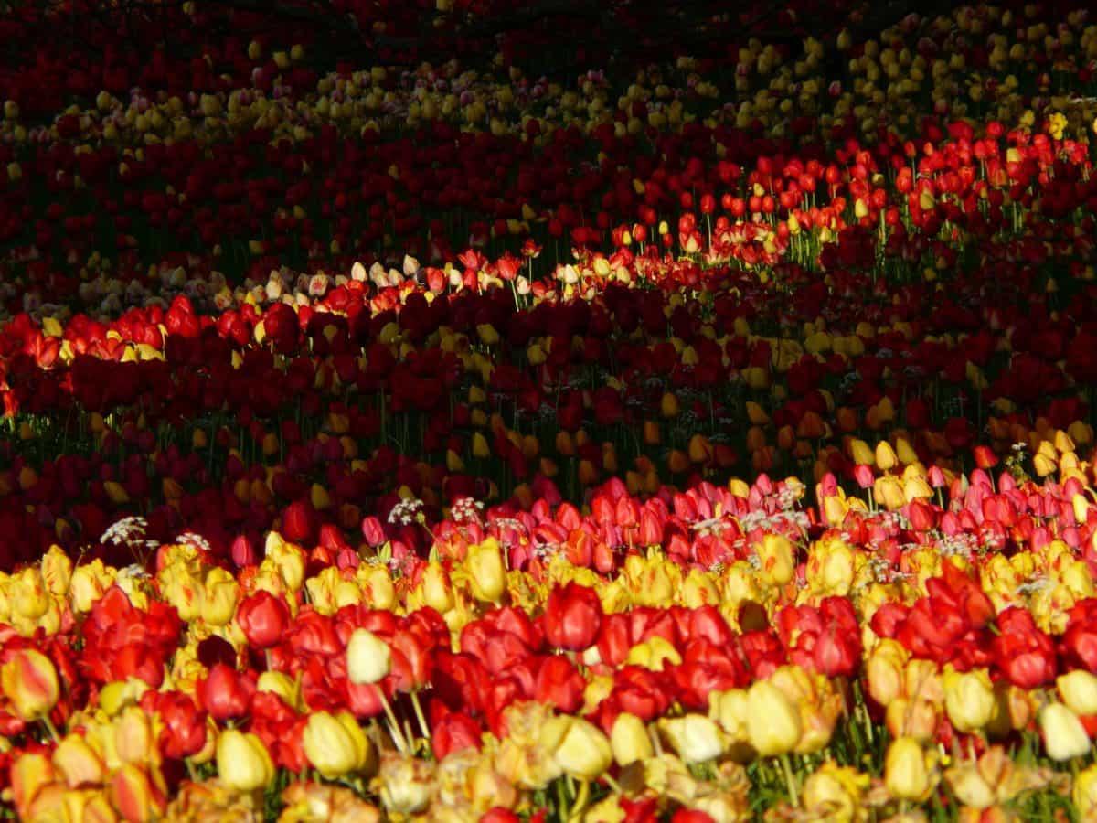 kasvi, kukka, kukkia, Puutarha, tulip ja kentän
