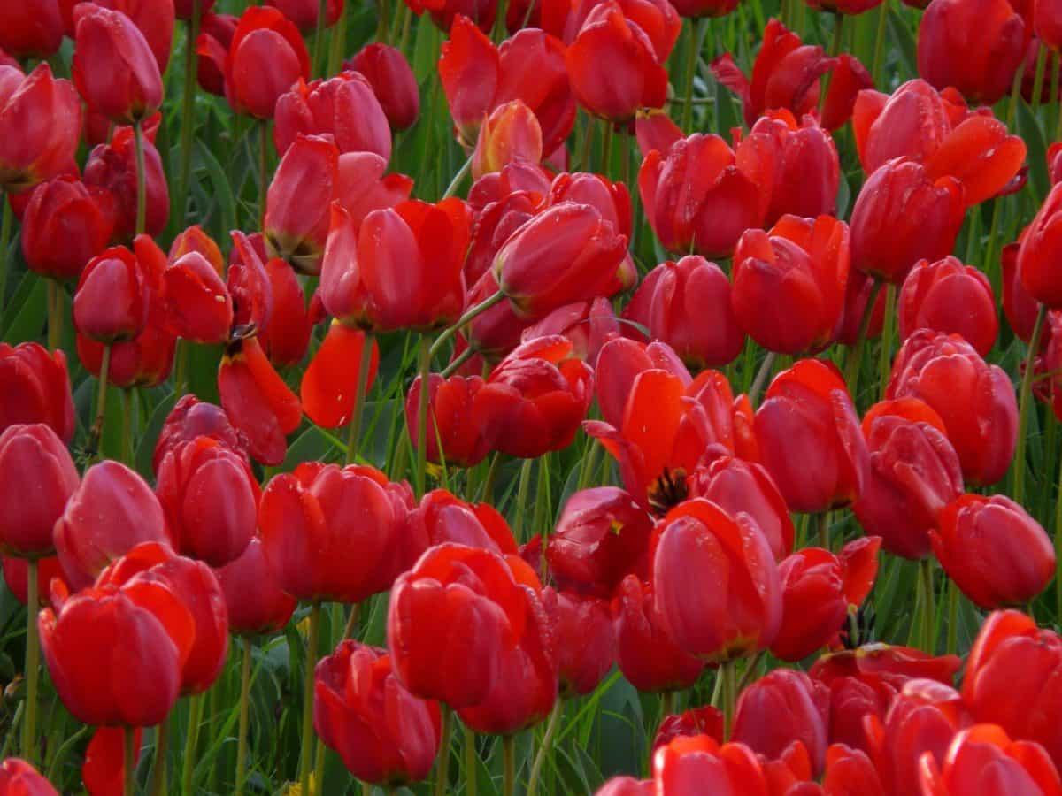 tulip, nature, garden, leaf, flora, tulip, field, red flower, plant